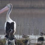 Pelican and ducks at Bushels
