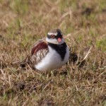 Black-fronted Dotterel at Polo Field