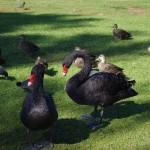 Black swans at Pughs Lagoon